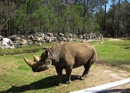 Chehaw rhino